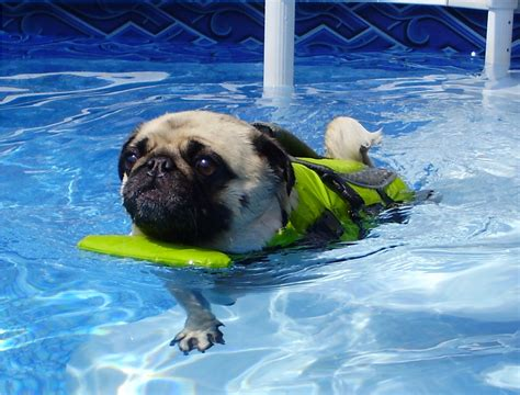wow pugs rescued pug to swim wow what a cool dude