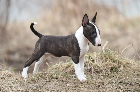 bull terrier puppies rescue pictures information english bull terrier dog breed information buying advice