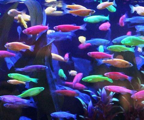 best 25 tetra fish ideas on freshwater fish