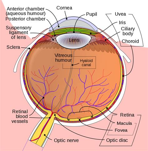 the diagram of the eye file schematic diagram of the human eye en svg wikibooks