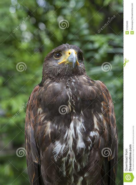 close  face  hawk bird stock photo image  animal