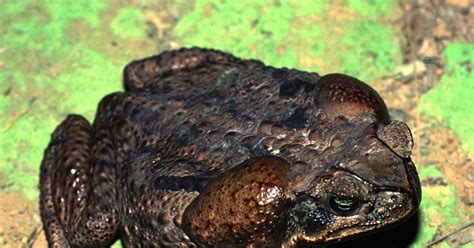 are toads poisonous to dogs poisonous bufo toad menaces expanding areas experts ny daily news
