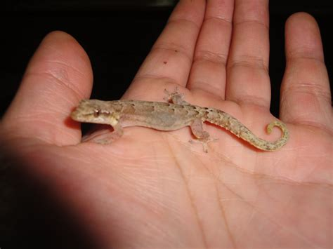house gecko biodiversity 187 panama