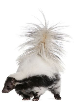 how to get rid of skunk smell in house how to get rid of skunk smell bob vila