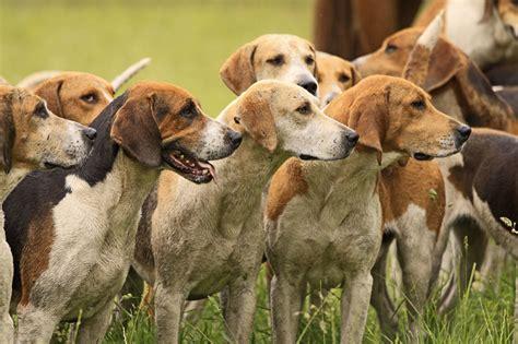 Foxhound Shedding by Europetnet American Foxhound