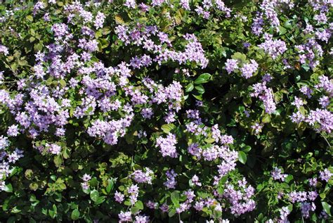 flowering shrubs with purple flowers bushes of purple flowers by scorpius02 on deviantart