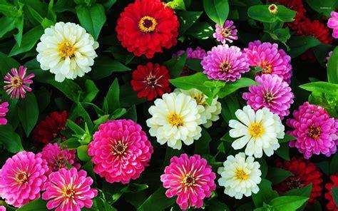 wallpaper zinnia colorful zinnias wallpaper flower wallpapers 47229