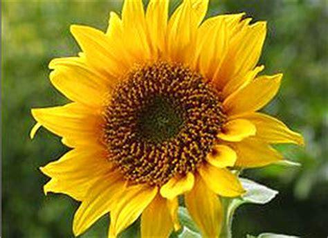 official kansas state flower