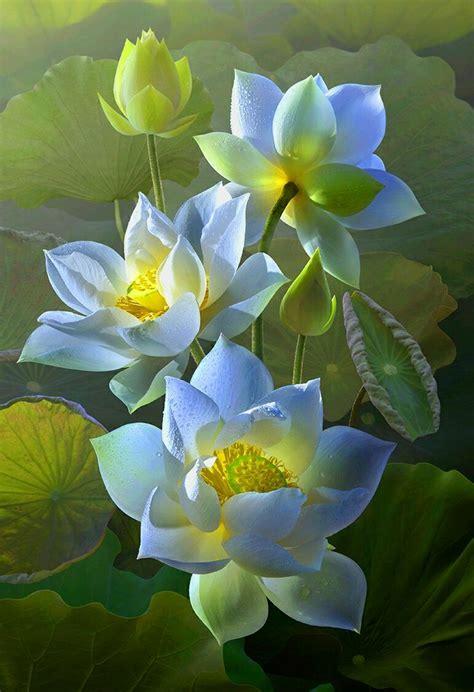 lotus flower in best 25 lotus flowers ideas on lotus flower
