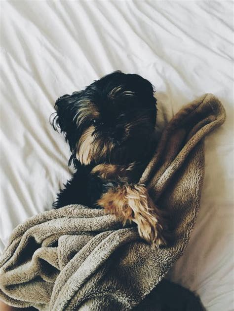 black  brown yorkie laying  bed  brown towel  stock photo