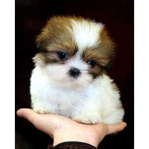 tiny shih tzu breeders tiny shih tzu puppies for sale at teacups puppies and boutique polyvore