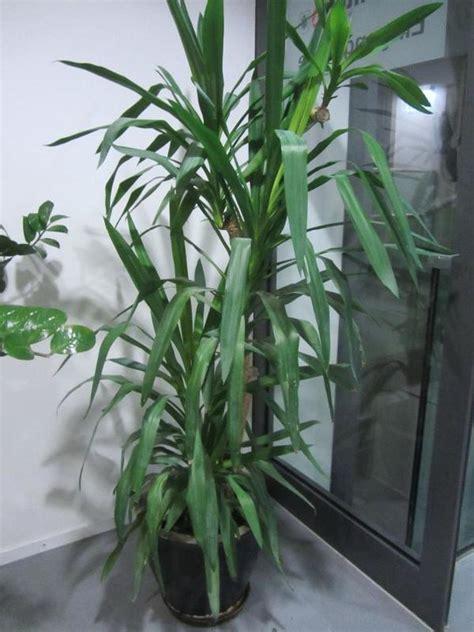 Gartenpflanzen Die Wenig Licht Brauchen by Gro 223 E Zimmerpflanzen Ficus Benjamin Yukka Yukkapalme