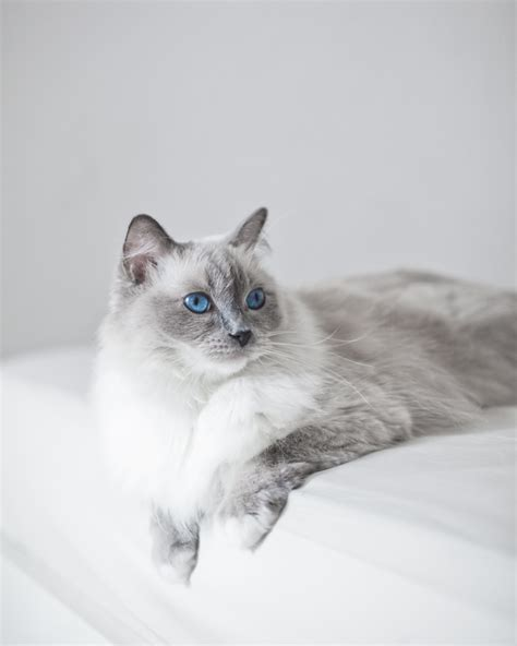 a ragdoll kitten ragdoll cats cat breed information pictures