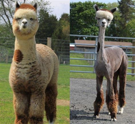 Shaved Llama Meme - alpaca got punk d or something adorable thingies