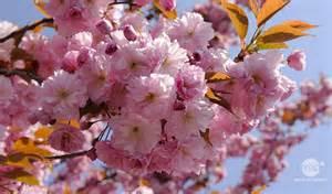 cerisier du japon vari 233 t 233 s plantation entretien