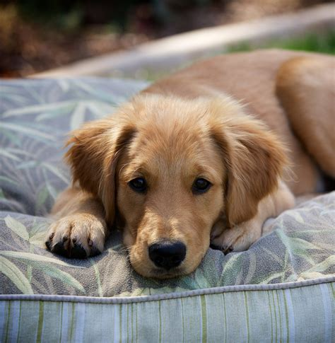 Puppy Golden Retriever pictures of golden retrievers golden retriever photo gallery