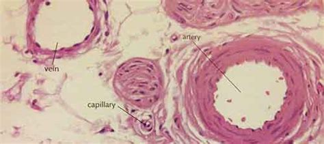artery and vein cross section veins arteries and capillaries