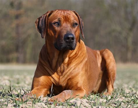 dogs and the 6 best dogs for adventure the rhodesian ridgeback