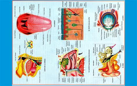 laminas educativas los 5 sentidos los 5 sentidos en laminas educativas los cinco sentidos