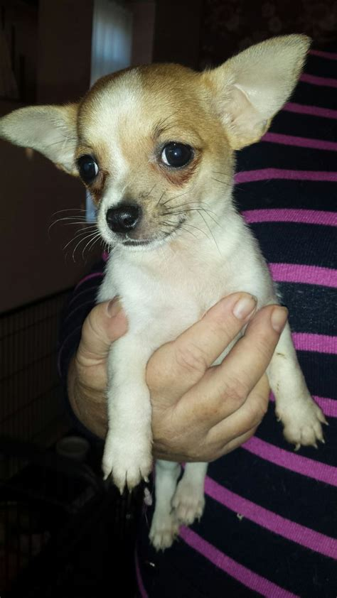 white chihuahua puppies for sale beautiful white chihuahua puppies for sale blackpool lancashire pets4homes