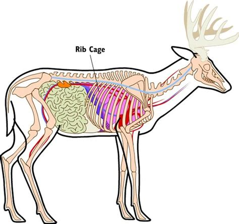 where to shoot a deer diagram your bows and beyond best place to shoot a deer for