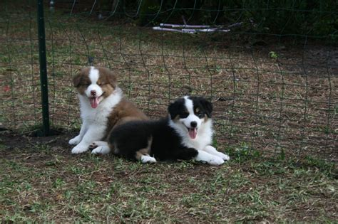 australian shepherd puppies colorado australian shepherd puppies for sale in colorado colorado s buck mountain aussies