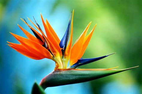 bird paradise flower birds of paradise