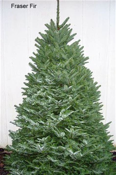 most popular type of real christmas tree types and names of live trees