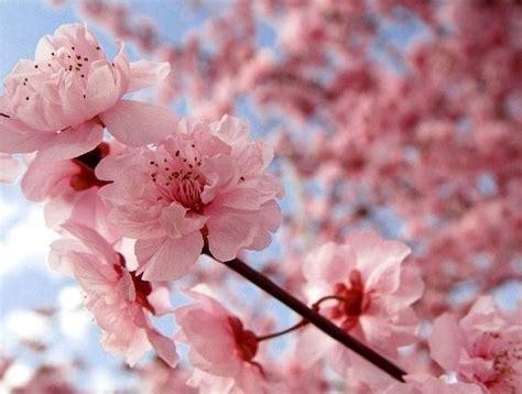 fiori ciliegio fiore di ciliegio significato fiori