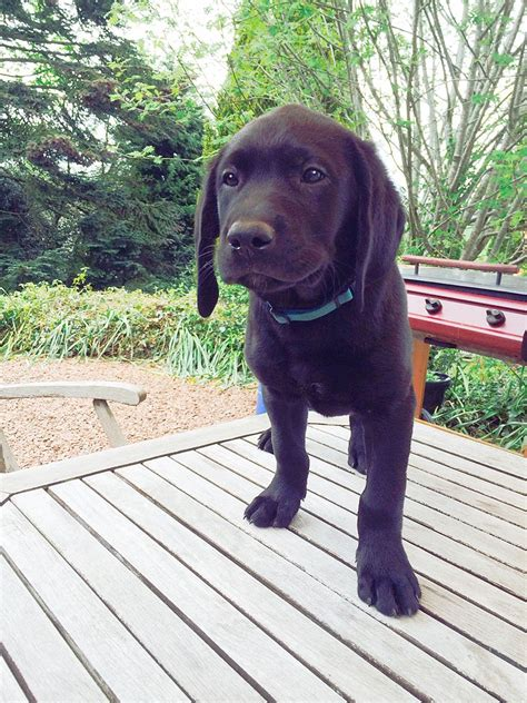 labrador puppies and dogs for sale pets classifieds gorgeous labrador puppies for sale glasgow lanarkshire