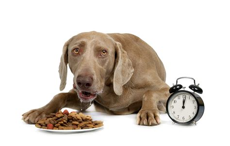 feeding puppy 8 best foods for the weimaraner diet simply for dogs