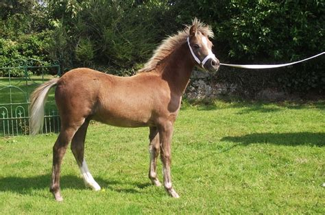 Section A Foals For Sale by Sec A Colt Foal Beaumaris Isle Of Anglesey