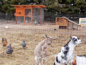 rob s garden coop goats in the chicken yard coop thoughts blog