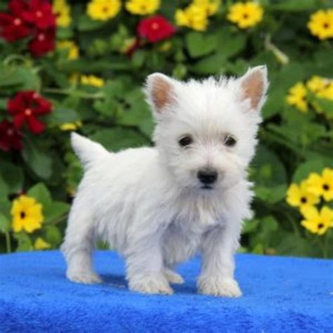 westie puppies for sale in florida west highland white terrier puppies for sale westside fl 207933