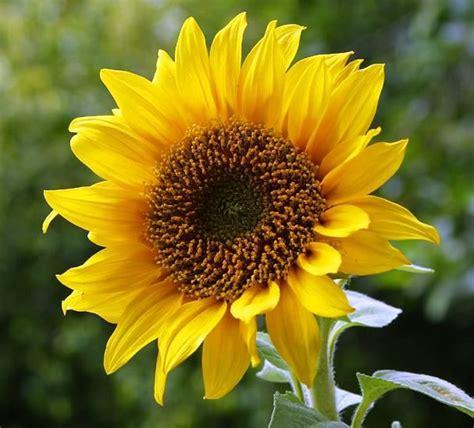 bunga matahari ciri ciri tanaman  khasiat
