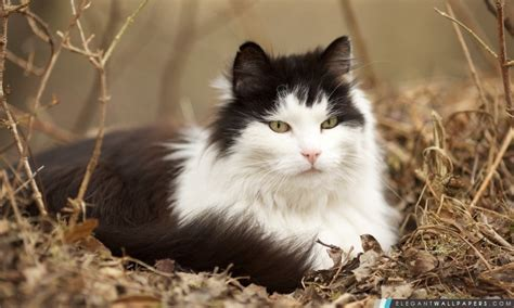 Types Of Haired Cats by Chat Des For 234 Ts Norv 233 Giennes Fond D 233 Cran Hd 224