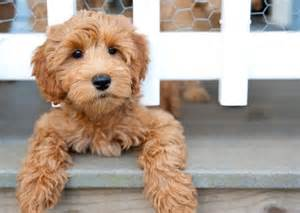 best 25 labradoodle puppies ideas on