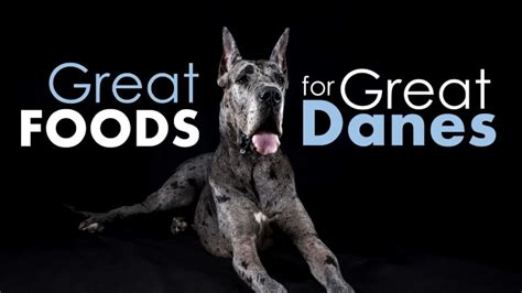 best food for great danes best food for great danes protein controversy herepup