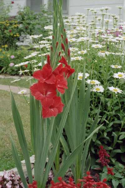How To Plant A Flower Garden Planting Gladiolus In A Pot Typesofflower Typesofflower