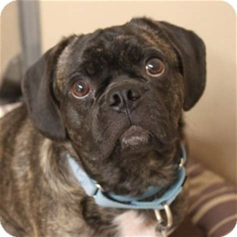 pug and beagle mix dogs chauncey adopted 12 0668 naperville il pug beagle mix