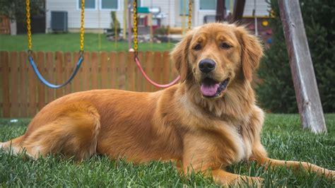 top dog breeds america s most popular dog breeds