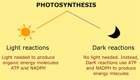 Where Do The Light Independent Reactions Of Photosynthesis Occur by Posts Jsunil Tutorial Cbse Maths Science