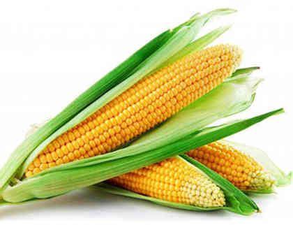 Benih Jagung Unggul daftar harga benih jagung 2018 untuk varietas unggul daftarharga biz