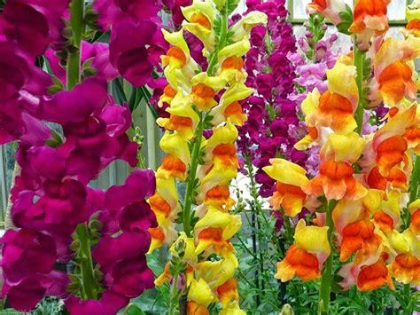 fiori bocche di bocche di fiori come coltivare le bocche di