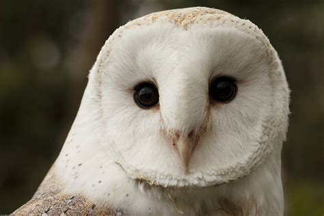 Texas Barn Owls I Saw A White Owl With Black Eyes Stories Sightings