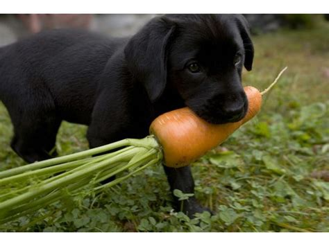 vegetables dogs can eat a list of which vegetables are for your