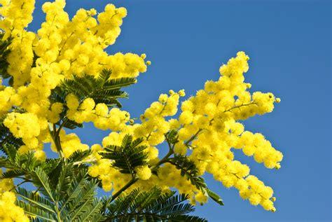 foto mimosa fiore le mimosa un arbuste connu pour ses fleurs jaunes