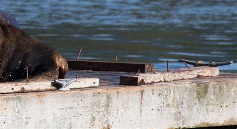 ucluelet public boat launch nails endangering sea lions on ucluelet float spark dfo