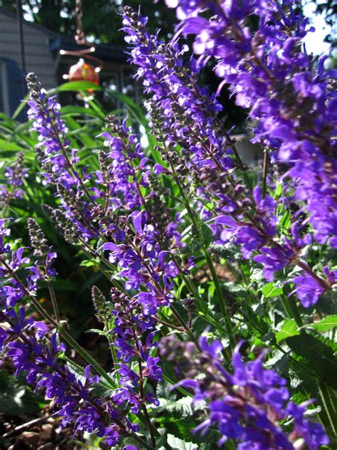 catmint plant tips for care of catmint