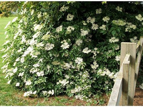 sambuco sambucus nigra sambucus nigra aromatiche